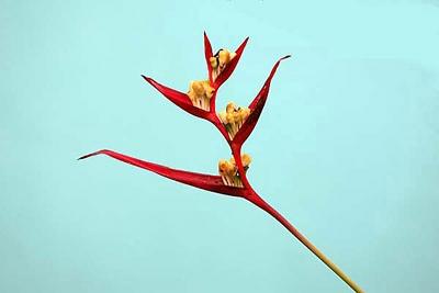 Flores (Costa Rica 3)