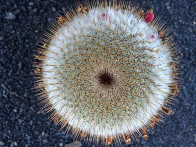 Cactus de la familia Mammillaria